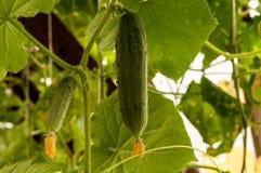 Pepino que crece en el jardín Fotos de archivo