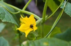 Pepino que crece en una vid Foto de archivo libre de regalías