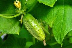 Pepino que cresce na haste com folhas e flores Fotos de Stock Royalty Free