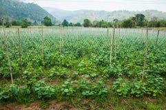 Pepino que cresce no jardim Fotografia de Stock