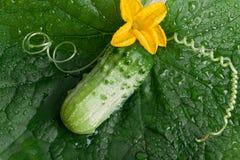 Pepino verde Fotos de Stock Royalty Free