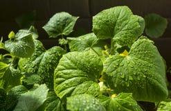 Pepino verde da folha com gota da água Imagens de Stock