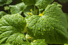 Pepino verde da folha com gota da água Imagens de Stock Royalty Free