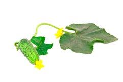 Pepino verde joven con las hojas Imágenes de archivo libres de regalías