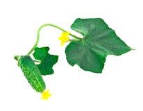 Pepino verde novo com folhas Foto de Stock Royalty Free