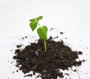 Pepino verde que cresce no jardim Imagens de Stock