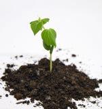 Pepino verde que cresce no jardim Fotos de Stock Royalty Free