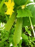 Pepinos Imagem de Stock