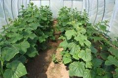 Pepinos. Imagem de Stock