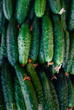 pepinos Colheita do pepino muitos pepinos verdes Fundo do pepino Foto de Stock Royalty Free