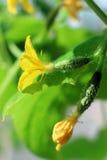 Pepinos crecientes, pepinos florecientes, pequeño pepino dos Imagen de archivo libre de regalías