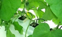 Pepinos del invernadero Fotografía de archivo libre de regalías