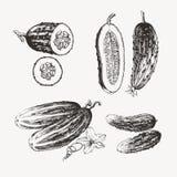 Pepinos dibujados tinta Fotografía de archivo libre de regalías