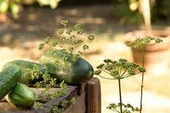 Pepinos e aneto Foto de Stock Royalty Free