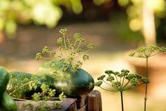 Pepinos e aneto Fotografia de Stock