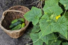 Pepinos em uma cesta wattled, foco seletivo Fotografia de Stock
