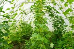 Pepinos en el invernadero Granja, creciendo, agricultura fotos de archivo