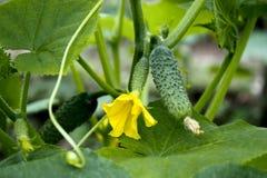 Pepinos en invernadero Fotografía de archivo