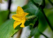 Pepinos florecientes, pepinos jovenes, flor amarilla Imágenes de archivo libres de regalías