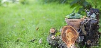 Pepinos frescos em uma cesta em uma grama Fotos de Stock