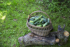 Pepinos frescos em uma cesta em uma grama Imagens de Stock Royalty Free