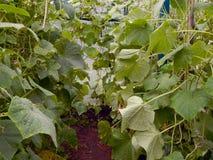 Pepinos maduros frescos que crescem em uma estufa no jardim Foto de Stock Royalty Free