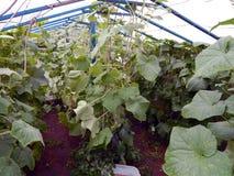 Pepinos maduros frescos que crescem em uma estufa no jardim foto de stock