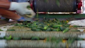Pepinos na linha de empacotamento video estoque