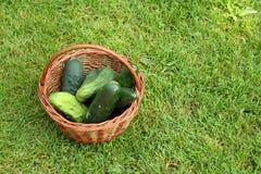Pepinos orgânicos Fotografia de Stock Royalty Free