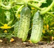 Pepinos verdes apetitosos en un jardín de cocina Foto de archivo