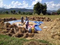 Pepiple i risfälten Arkivbilder