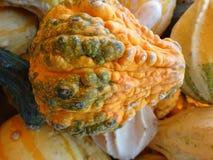 Pepo Cucurbita, бородавчатая тыква груши Стоковое Фото