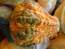 Pepo Cucurbita, бородавчатая тыква груши Стоковое Изображение RF