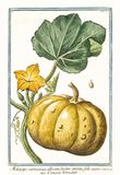 Pepo del Cucurbita del verruscosus de Melopepo stock de ilustración