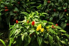 Peppar Royaltyfria Bilder