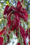 Peppar för röd chili på ett rep royaltyfri bild