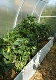 Peppar på en säng i ett växthus royaltyfri fotografi