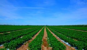 Peppar på fältet Arkivfoton