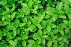 Pepparmint grönmynta Royaltyfri Fotografi