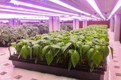 Pepparplantan växer med lett ljus för växttillväxt i växthus arkivbild