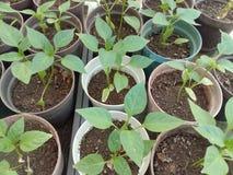 Pepparplantlets i ett växthus arkivfoton