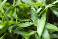 Pepparplantor - ung grön lövverk av bulgarisk peppar med vattensmå droppar på sidorna Vårväxtplantor, bakgrund arkivfoton
