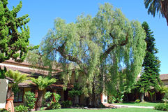 Pepparträd framme av stadshuset, Laguna Beach, Kalifornien royaltyfria bilder