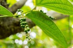 Pepparträd i trädgården på Thailand Arkivbild