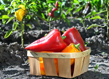 Pepper in a basket in the garden. Freshly plucked sweet pepper in a basket in the garden. Outdoors. Autumn garden with sweet pepper. Vegetables basket in the Stock Photo