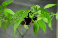 Pepper black pearl. A Pepper black pearl with a nature background Royalty Free Stock Image