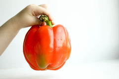 Pepper bulgarian red. Baby hold the pod Stock Photography