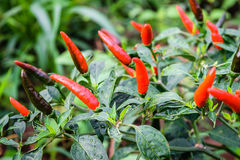 Pepper chili Royalty Free Stock Photos