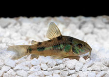 Pepper Cory Corydoras paleatus catfish Stock Images
