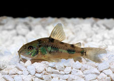 Pepper Cory Corydoras paleatus catfish Royalty Free Stock Photography